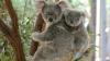 ESTE INCREDIBIL! Ce face un urs koala când vede că puiul său nu poate trece peste un gard (VIDEO)