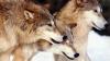 STUDIU: Numărul haitelor de lupi din Germania continuă să crească, la 150 de ani după extincţie