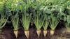 Aşteptările agricultorilor privind recolta sfeclei de zahăr