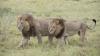 Naturaliştii sunt uluiţi! Ce schimbări de comportament au observat la leoaicele unei rezervaţii africane
