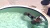 #LIKEPUBLIKA. Trei urşi se bălăcesc nestingherit într-o piscină (VIDEO)