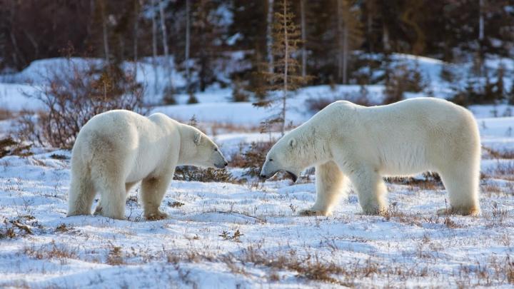 NO COMMENT: Mai mulţi cercetători ruşi, BLOCAŢI de două săptămâni pe o insulă din cauza urşilor polari
