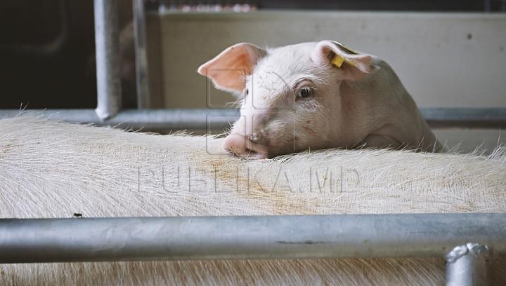 Vama şi ANSA au elaborat un plan privind prevenirea introducerii pestei porcine pe teritoriul Moldovei