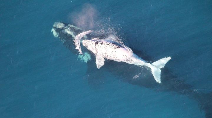 IMPRESIONANT! Un pui alb de balenă a fost filmat cu o dronă în apropiere de Australia