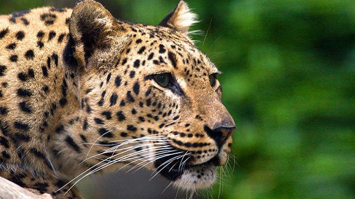 ADORABIL! Cum reacţionează un băieţel la atacul unui leopard (VIDEO)