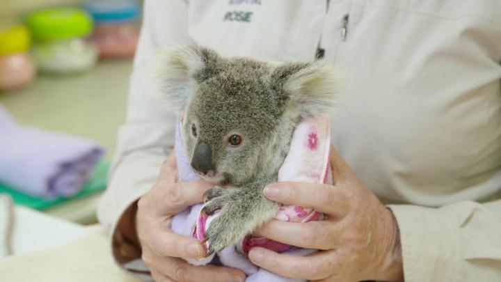 EMOŢIONANT! Un pui de koala care şi-a pierdut mama se consolează cu o jucărie de pluş (VIDEO)