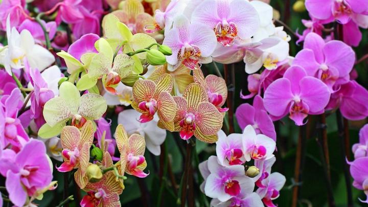 BINE DE ŞTIUT! Cum uzi corect orhideele pentru a obține o înflorire superbă