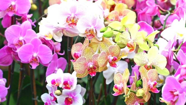 Plante elegante și pline de flori! Sfaturi despre cum se îngrijesc corect orhideele