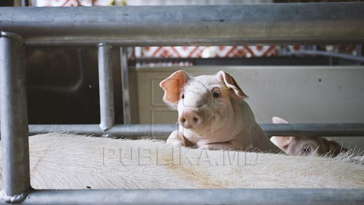 Pesta porcină africană, în Moldova. Declaraţiile Ministrului Agriculturii şi vicedirectorului ANSA