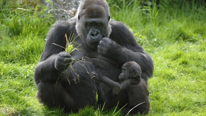 ALERTĂ! Cea mai mare gorilă din lume este PE CALE DE DISPARIŢIE