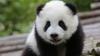 Grădina Zoologică din Viena cere ajutorul iubitorilor de animale pentru a boteza un pui de panda