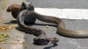 BĂTAIE între doi şerpi giganţi! Ce nu au putut împărţi reptilele (VIDEO)