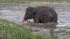 Moment impresionant: Un elefant străbate un râu întreg pentru a-și salva dresorul de la înec (VIDEO)