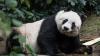 Ce trist! A MURIT cel mai bătrân urs panda din lume