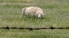 Un adolescent și mama lui, CONDAMNAŢI pentru sacrificarea a trei oi