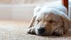 Ce visează, de fapt, câinii. Părerea oamenilor de știință