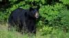 SUA: VAL DE INDIGNARE după ce un urs popular a fost ucis de un vânător