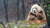 ADORABIL! Cum arată singurul urs panda de culoare maro din lume (VIDEO)