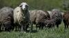Ghinion pentru o gospodărie. O haită de lupi a atacat oile din curtea casei