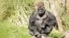 Operaţiune a autorităţilor britanice, după ce o gorilă a evadat de la London Zoo
