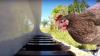VIRAL PE INTERNET. O găină cântă la pian (VIDEO)