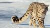 ÎNGRIJORĂTOR! Leoparzii de zăpadă, tot mai puţini