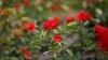 ATENŢIE, iubitori de flori! TRUCUL simplu prin care trandafirii rezistă până la o săptămână în vază