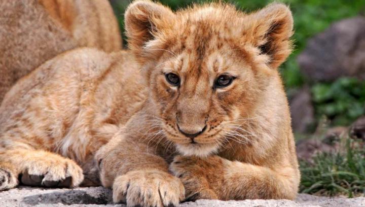 Un leu scăpat din perimetrul său la o grădină zoologică din Germania a fost ÎMPUŞCAT