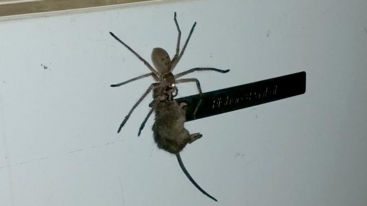 IMAGINI ŞOCANTE! Un păianjen transportă fără probleme un șoarece (VIDEO VIRAL)