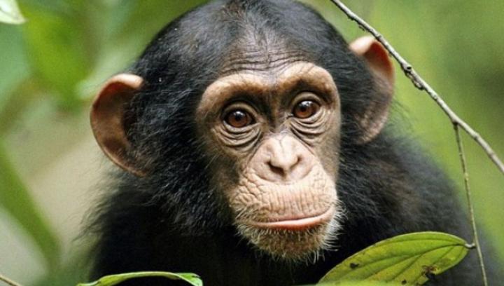 Maimuțele au dovedit-o: Nu trebuie să fii om pentru a înțelege ce gândește altcineva