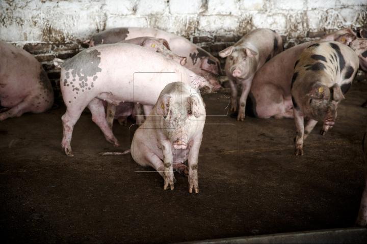 Lupta cu PESTA PORCINĂ continuă! Directorul ANSA a efectuat un CONTROL la mai multe ferme din țară