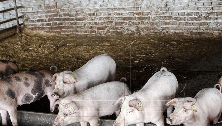 Statele Unite au suspendat importurile de porci din Polonia din cauza pestei porcine