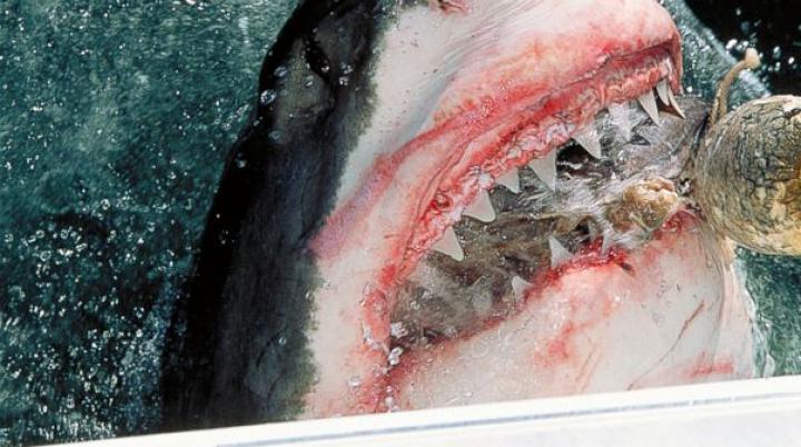 IMAGINI MACABRE surprinse de turiști! Un rechin, filmat în timp ce mănâncă o vacă (VIDEO)