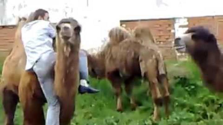 HAIOS! A vrut să călărească o cămilă, dar a sfârșit de tot râsul (VIDEO)