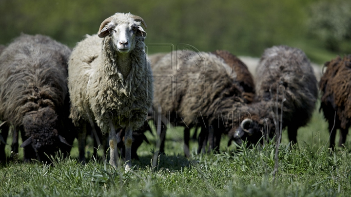 Paisprezece oi au murit în urma ninsorilor. Acoperișul stânei s-a prăbușit