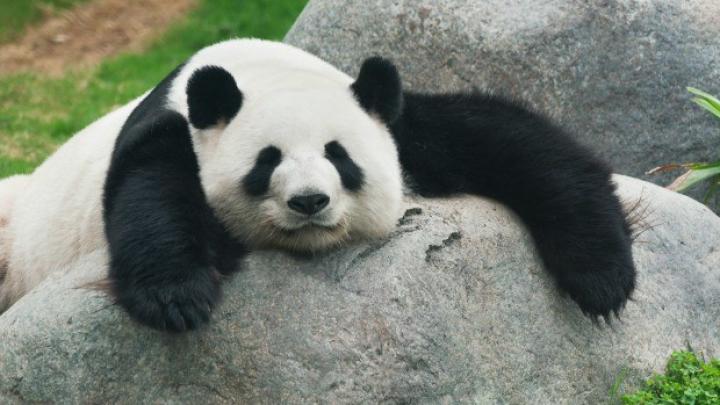 PUS PE ŞOTII! Un urs panda s-a luat la trântă cu un tânăr intrus (VIDEO VIRAL)