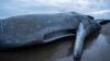 Au găsit două balene eşuate pe malul mării. Când le-au despicat stomacul au rămas uluiţi de cele văzute (FOTO)