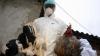 Gripa Aviară înalt patogenă se extinde din Rusia în Europa și India