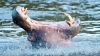 A tras SPAIMA VIEŢII! Un bărbat, ATACAT de un hipopotam (VIDEO)