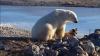 Urşii polari, care au invadat arhipelagul rus arctic, au părăsit aşezările
