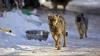 VIRAL PE INTERNET! Ce păţeşte un câine care latră la pui, de la mama căţeluşilor (VIDEO)