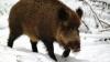 Romgaz: Broasca ţestoasă şi porcul mistreţ dau semne că urmează iarnă grea (VIDEO)