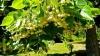 Chişinău, oraşul florilor de tei! Peste 1.000 de arbori urmează să fie plantaţi în acest an