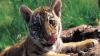 Un tigru, animal de companie pentru o familie din Rusia. Felina a devenit vedetă în oraș