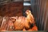 Animalele de la Grădina Zoologică din Capitală, gata de iarnă. Cele mai tolerante specii la frig