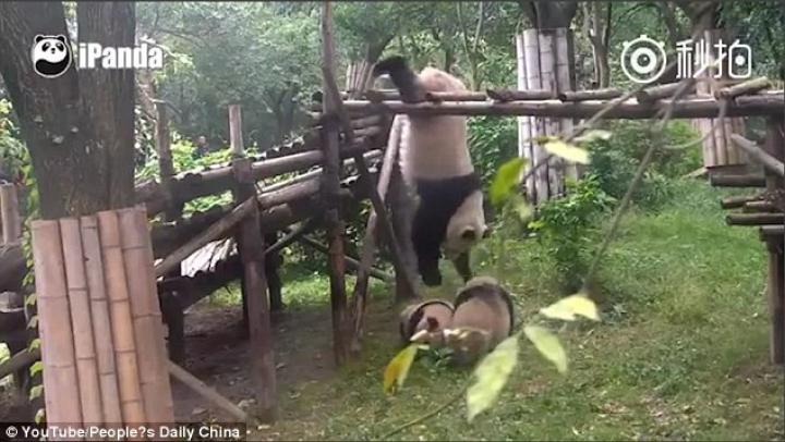 VIDEO VIRAL: Un urs panda se joacă cu fraţii săi, atârnând cu capul în jos (VIDEO)