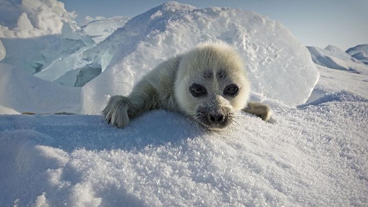 IMPRESIONANT! Un fotograf a petrecut 3 ani încercând să captureze foci polare (FOTO)