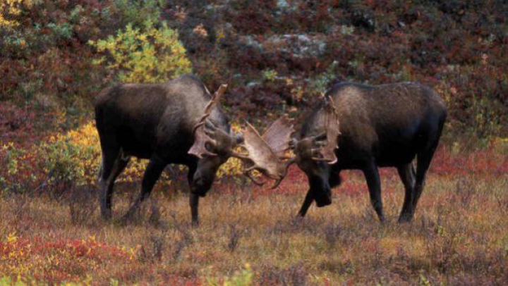 DESCOPERIRE INCREDIBILĂ! Unde au fost găsiţi doi elani (FOTO)