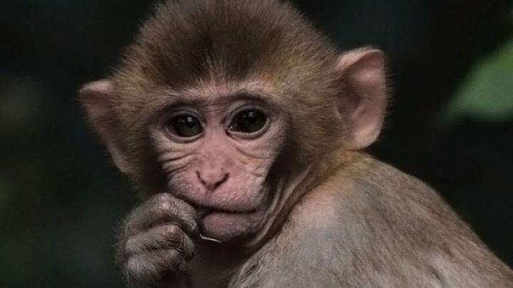 PUBLIKA WORLD: Natura surprinde din nou. O maimuţică s-a împrietenit cu o turmă de capre (VIDEO)