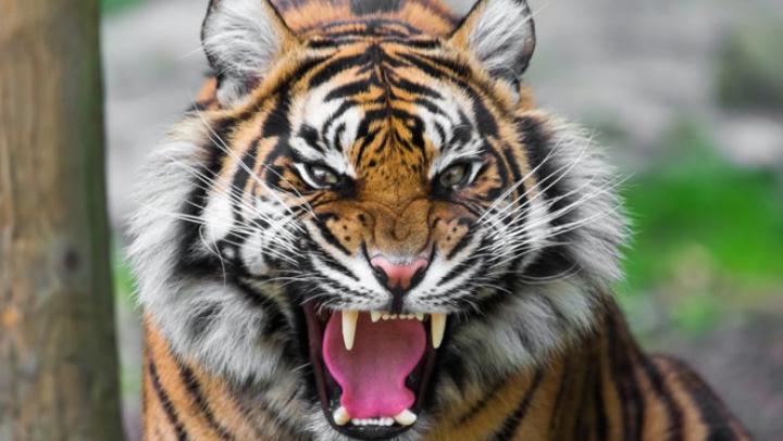 Momente de GROAZĂ la un spectacol de circ. Un tigru a scăpat din cușcă în timpul reprezentaţiei